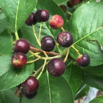 Aronia melanocarpa (Black Chokeberry) fruit in July Photo © 2015 Elaine Mills