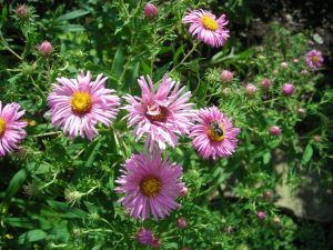 Asters with pollinator