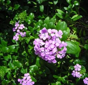 Dianthus japonicus close up