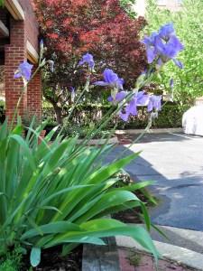 Undivided iris clump.