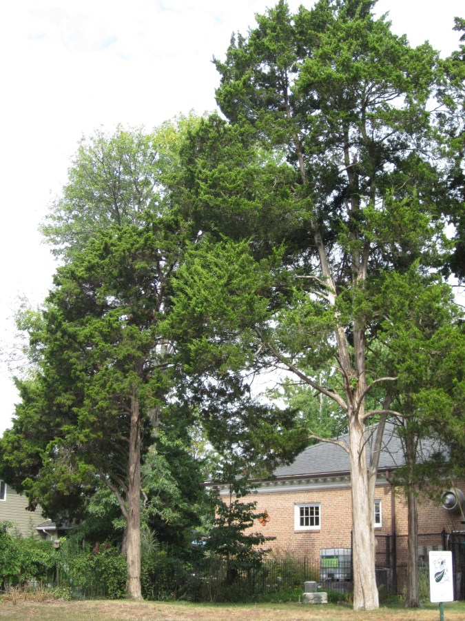 Lovely specimens of eastern red cedar are growing at the Glencarlyn Library Community Garden.