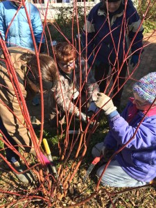 Coordinators at the Glencarlyn Garden carefully prune red twig dogwood in late winter to encourage the growth of young red stems.