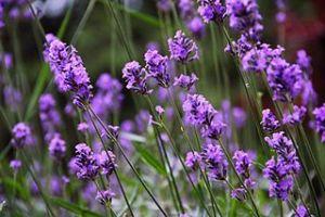 Lavender in bloom