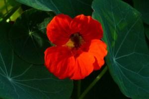 """Nasturtium, Tropaeolum majus """"Empress of India"""