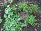 Carex pensylvanica (Pennsylvania sedge) and other shade plants