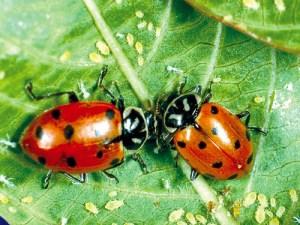 Convergent lady beetles