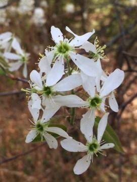 Amelanchier arborea (Downy Serviceberry) flower detail in April.Photo © Elaine Mills