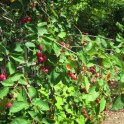 Amelanchier arborea, (Downy Serviceberry) with pomes. Photo © Elaine Mills