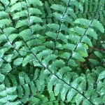 Adiantum pedatum, Northern Maidenhair Fern