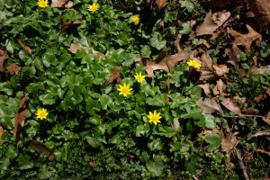 Ranunculus ficaria (lesser celandine)