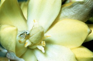 Yucca filamentosa (Adam's needle) with Yucca Moth