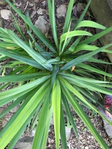Shade Garden Yucca filamentosa (Adam's needle). View from above