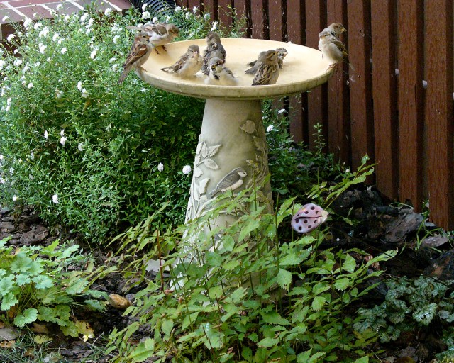 Although house sparrows may be fun to watch as they tend to feed and bathe in flocks, they are considered pests. Creating Inviting Habitats does not have an answer on how to rid your yard of these non-native pests, but it does provide information on birdbaths–both water and dust. © Mary Free
