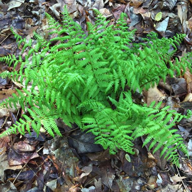 Athyrium asplenioides, (Southern) Lady Fern Photo by Elaine L. Mills, 2015-04-20, National Arboretum.