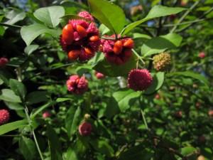 Euonymus americanus (Strawberry Bush) fruit.