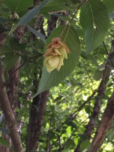 Ostrya virginiana, Eastern Hop Hornbeam . The fruit - resembles hops and consists of clusters of leafy, oval, papery sacs.