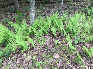 Dennstaedtia punctilobula (hay-scented fern) in a woodland setting. Photo © 2018 Berthica Rodriguez-McCleary