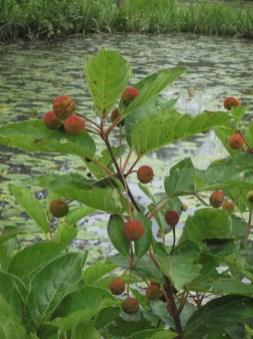 Cephalanthus occidentalis (Buttonbush) fruit in August. Photo by Elaine L. Mills, 2014-08-24, Kenilworth Aquatic Garden.
