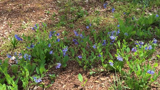 Mertensia virginica (Virginia Bluebell,Virginia Cowslip) in woods in April. Photo © 2015 Elaine Mills