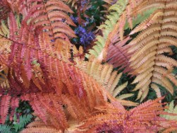 Colors of fall foliage in Cinnamon Fern. Photo by Elaine L. Mills, 2014-10-11, Longwood Gardens.