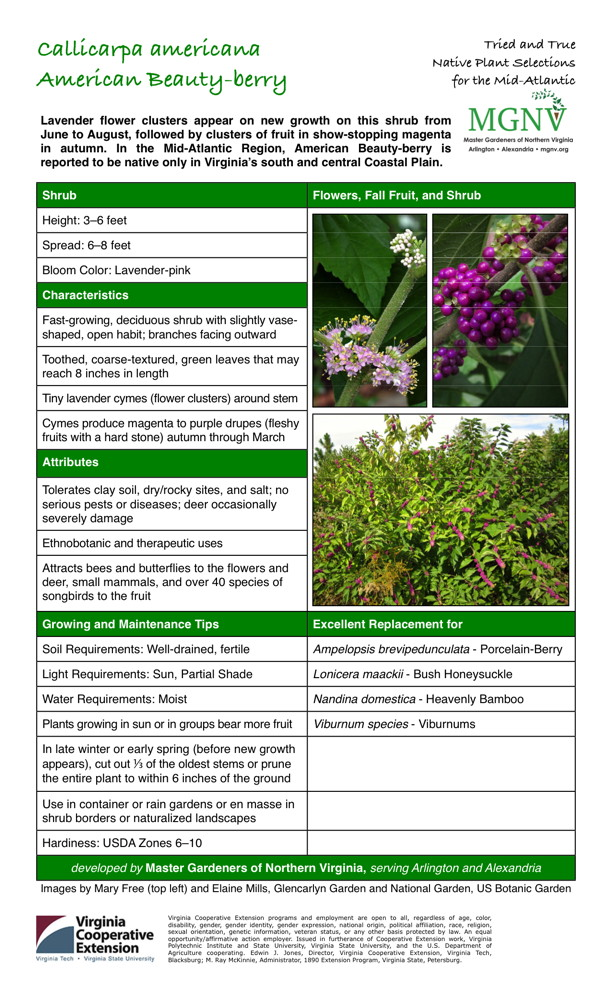 Callicarpa americana, American Beautyberry Viburnum species - Viburnums, Nandina domestica - Heavenly Bamboo, Lonicera maackii - Bush Honeysuckle, Ampelopsis brevipedunculata - Porcelain-Berry, USDA Zones 6-10, Use in container or rain gardens or en masse in shrub borders or naturalized landscapes, In late winter or early spring (before new growth appears), cut out 1/3 of the oldest stems or prune the entire plant to within 6 inches of the ground, Sun, Partial Shade, Well-drained, fertile, Attracts bees and butterflies to the flowers and deer, small mammals, and over 40 species of songbirds to the fruit, Tolerates clay soil, dry/rocky sites, and salt; no serious pests or diseases; deer occasionally severely damage, Cymes produce magenta to purple drupes (fleshy fruits with a hard stone) autumn through March, Tiny lavender cymes (flower clusters) around stem, Toothed, coarse-textured, green leaves that may reach 8 inches in length, Fast-growing, deciduous shrub with slightly vaseshaped, open habit; branches facing outward, Lavender-pink, Autumn Shrub