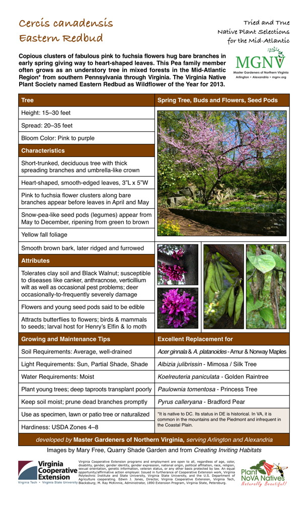 Cercis canadensis, Eastern Redbud Pyrus calleryana - Bradford Pear, Paulownia tomentosa - Princess Tree, Koelreuteria paniculata - Golden Raintree, Albizia julibrissin - Mimosa / Silk Tree, Acer ginnala & A. platanoides - Amur & Norway Maples, Average, well-drained, Sun, Partial Shade, Shade, Moist wet, Plant young trees; deep taproots transplant poorly, Keep soil moist; prune dead branches promptly, Use as specimen, lawn or patio tree or naturalized, Attracts butterflies to flowers; birds & mammals to seeds; larval host for Henry's Elfin & Lo moth, Flowers and young seed pods said to be edible, Tolerates clay soil and Black Walnut; susceptible to diseases like canker, anthracnose, verticillium wilt as well as occasional pest problems; deer occasionally-to-frequently severely damage, Smooth brown bark, later ridged and furrowed, Snow-pea-like seed pods (legumes) appear from May to December, ripening from green to brown, Pink to fuchsia flower clusters along bare branches appear before leaves in April and May, Heart-shaped, smooth-edged leaves, Short-trunked, deciduous tree with thick spreading branches and umbrella-like crown, Pink to purple, USDA Zones 4-8