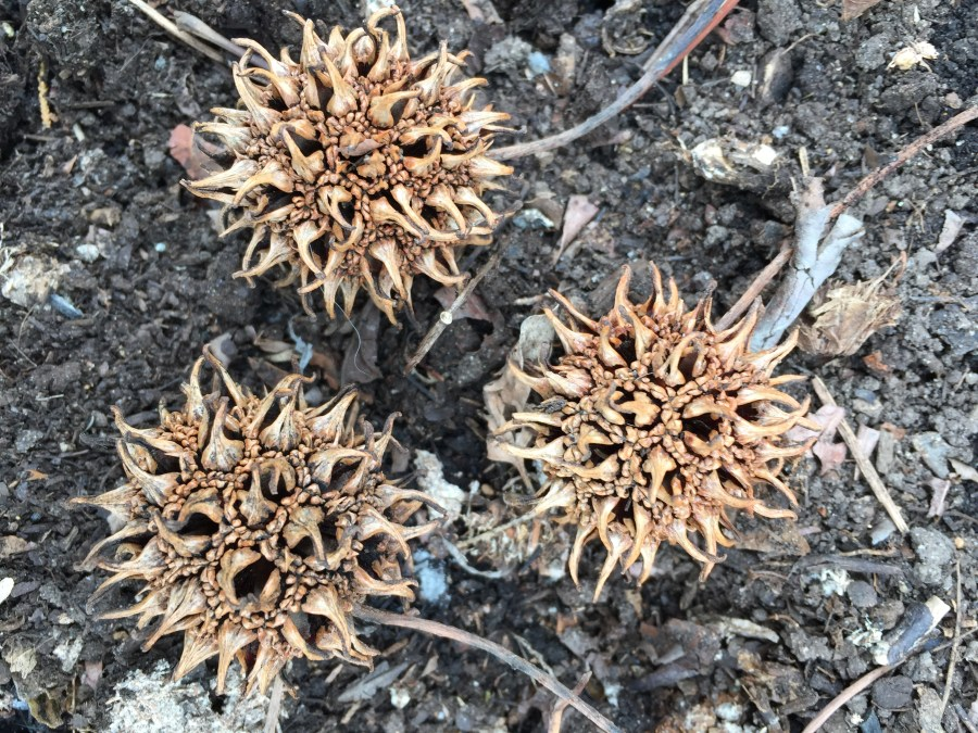 Liquidambar styraciflua (sweet gum) prickly seed pods. Photo © 2018 Elaine Mills