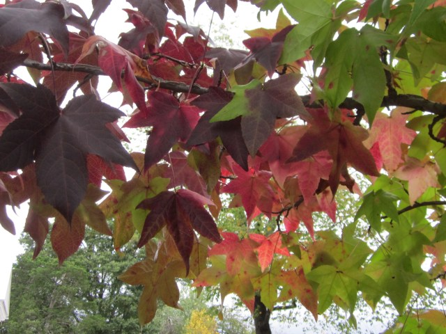 Liquidambar styraciflua (sweet gum) in October. Photo © 2014 Elaine Mills
