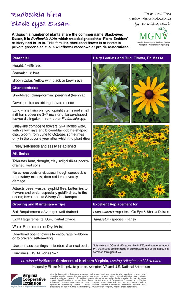 Rudbeckia hirta, Black-eyed Susan Perennial Height: 1–31⁄2 feet Spread: 1–2 feet Bloom Color: Yellow with black or brown eye Characteristics Short-lived, clump-forming perennial (biennial) Develops first as oblong-leaved rosette Long white hairs on rigid, upright stems and small stiff hairs covering 3–7 inch long, lance-shaped leaves distinguish it from other Rudbeckia spp. Daisy-like composite flowers, 2–4 inches wide, with yellow rays and brown/black dome-shaped disc, bloom from June to October, sometimes only in the second year after which the plant dies Freely self-seeds and easily established Attributes Tolerates heat, drought, clay soil; dislikes poorly- drained, wet soils No serious pests or diseases though susceptible to powdery mildew; deer seldom severely damage Attracts bees, wasps, syrphid flies, butterflies to flowers and birds, especially goldfinches, to the seeds; larval host to Silvery Checkerspot Growing and Maintenance Tips Soil Requirements: Average, well-drained Light Requirements: Sun, Partial Shade Water Requirements: Dry, Moist Deadhead spent flowers to encourage re-bloom or to prevent self-seeding Use as mass plantings, in borders & annual beds Excellent Replacement for Leucanthemum species - Ox-Eye & Shasta Daisies Tanacetum species - Tansy*It is native in DC and MD, adventive in DE, and scattered about PA, but mostly concentrated in the western part of the state. It is common throughout VA. Hardiness: USDA Zones 3–7