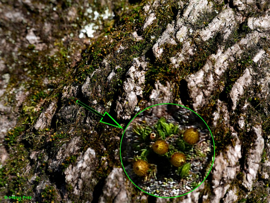 The capsules of anOrthotrichumspecies found on this maple bark barely rise above the upper leaves. © Mary Free