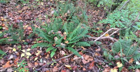 Polystichum acrostichoides (Christmas Fern) in November woods. Photo by Elaine L. Mills, 2017-11-03, Meadowlark Botanical Gardens.