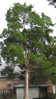 Juniperus virginiana, Eastern Redcedar