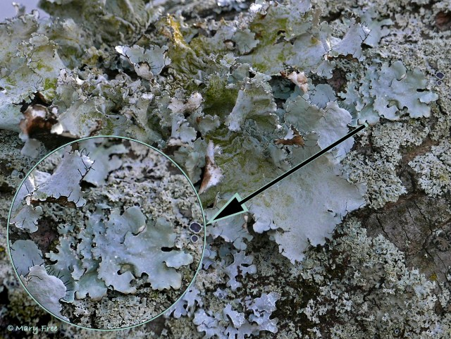Notice the black cilia on the lobe margins of the larger foliose lichens, and the cup-shaped apothecia among the smaller foliose lichens found on the bark of a maple tree. © 2019 Mary Free