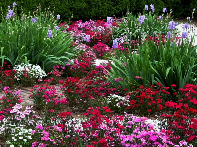 Early May in Colonial Williamsburg, Virginia finds dianthus and bearded irises among the flowers combined to create a red, white, and blue garden. Photo © 2019 Mary Free