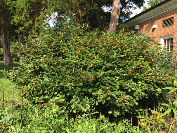 Ilex verticillata (Winterberry) 'Red Sprite' in September. Photo by Elaine L. Mills, 2018-09-07, Glencarlyn Library Community Garden.