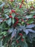 Ilex verticillata (Winterberry) 'Winter Red' fruit in October. Photo © Elaine L. Mills