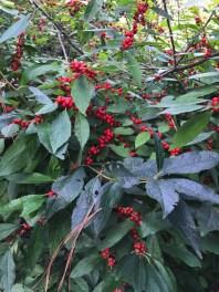 Ilex verticillata (Winterberry) 'Winter Red' fruit in October. Photo by Elaine L. Mills, 2018-10-10, Norfolk Botanical Garden.