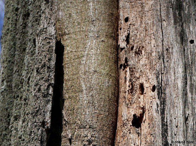 This oak was damaged by lightning strikes, exposing the inner wood, which attracts insects that attract woodpeckers. © 2019 Mary Free