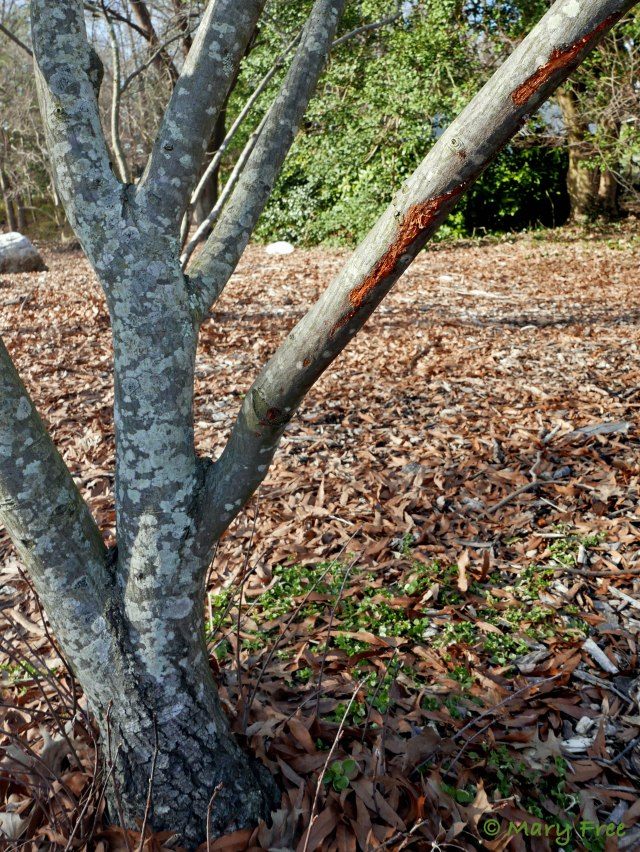 """The bark on the branch of this declining Amelanchier arborea in the Sunny Garden in Bon Air Park in Arlington, Virginia may have been gnawed by a squirrel. The small circular marks visible at the lower part of the tree might be where the squirrel """"taste-tested."""" © 2019 Mary Free"""