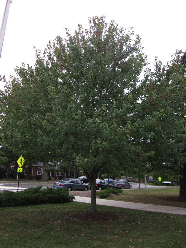 Acer rubrum (Red Maple) tree in September. Photo by Elaine L. Mills, 2014-09-24, Fairlington Community Center.