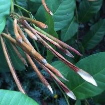 Amsonia tabernaemontana (Bluestar) seed pods in August. Photo by Elaine L. Mills, 2017-08-31, private garden, Arlington, Virginia.