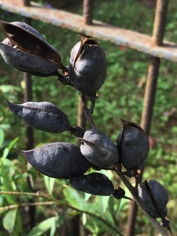 Baptisia australis (Blue Wild Indigo) Seed Pod details in October. Photo by Elaine L. Mills, 2018-10-15, Glencarlyn Library Community Garden.