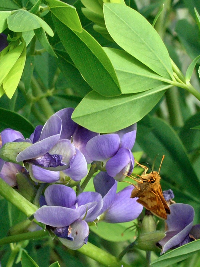 Peck's skipper butterfly feeding on the flowers of Baptisia australis (Blue Wild Indigo). Photo © Mary Free, 2015-05-18, Sunny Garden, Bon Air Park.