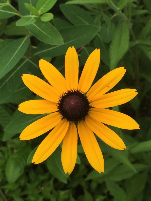 Rudbeckia hirta (Black-eyed Susan) flower detail in June. Photo by Elaine L. Mills, 2015-06-17, National Arboretum.