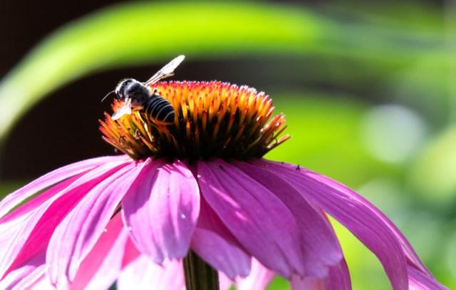 <em>Megachile</em> (leafcutter bee) on <em>Echinacea </em>(coneflower) Photo © 2018 Ed Colonna