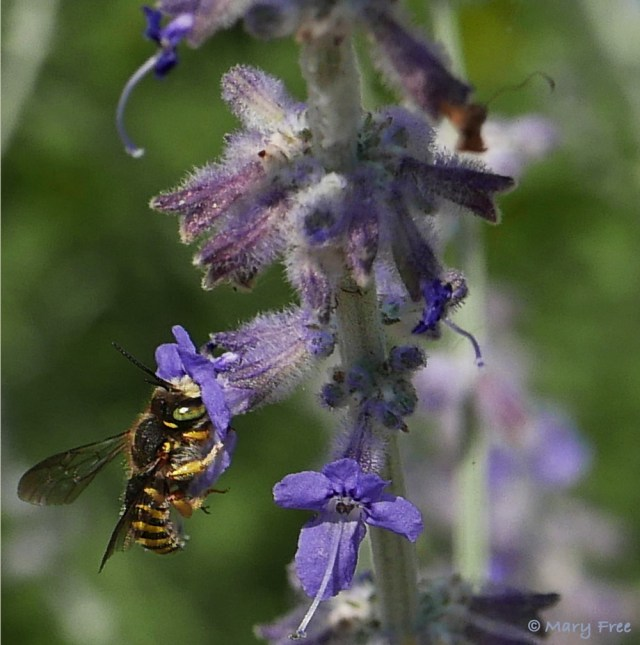 Anthidium manicatum (European wool carder bee) sips the nectar of central Asian native Perovskia 'Filigran' (Russian sage). The bee's common name describes its habit of scraping (carding) the hair from plants for its nest. The Latin name of this pollinator-attracting and sun-loving perennial describes its lacy (filigreed), silvery, and aromatic foliage. Photo © 2019 Mary Free.