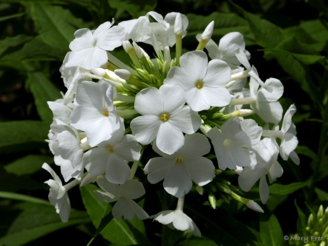 Indispensable to both the Glencarlyn (above) and Sunny gardens, native Phlox paniculata (garden phlox) attracts hummingbirds and butterflies. North Carolina State University found the white-flowered cultivar 'David' to be highly resistant to powdery mildew in warm, humid climates. Photo © 2019 Mary Free.