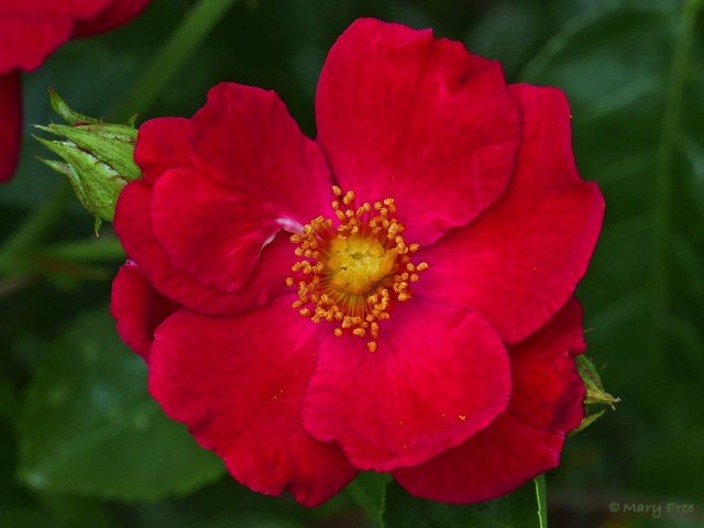 Rosa 'Noare' (sold as Red Flower Carpet®) is a hardy, spreading, ground cover-type rose that won the Royal Horticultural Society Award of Garden Merit in 2012. Photo © 2019 Mary Free.