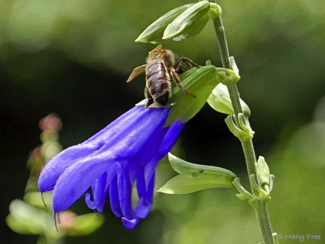 If you want to attract robbers and hummers to your garden, then plant Salvia guaranitica (anise-scented or hummingbird sage). Don't worry though, the only thing the robbers, like this Sunny Garden Apis mellifera (honey bee), will steal is nectar (see Flowers That Attract Pollinators And Robbers To A Garden). Photo © 2019 Mary Free.