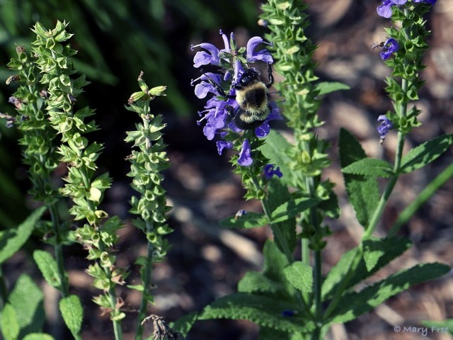 Salvia x sylvestris 'Blue Hill' (wood sage) has a reputation for truer blue flowers, which attract a variety of bees, like this Bombus impatiens (common eastern bumble bee), and butterflies. Removing the spent flower spikes extends the bloom period through summer into fall. Photo © 2019 Mary Free.